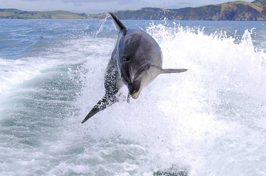 Zwemmen met dolfijnen  in Nieuw Zeeland doe je bij ons om de hoek in Paihia
